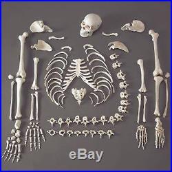 Human Skeleton/Skeletons, Life-Size, Disassembled
